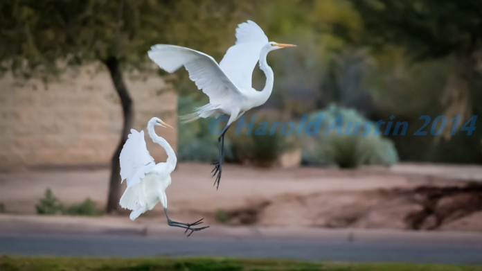 Egrets having a game of tag