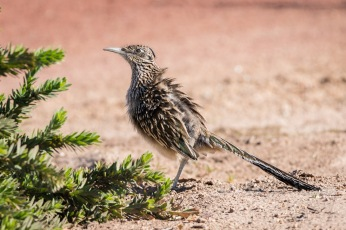 Greater Roadrunner enjoying the sun on it's back by fluffing his feathers.