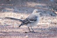 Pretty little bird in West Wetlands Park in Yuma Arizona. I believe it to be a Northern Mockingbird.