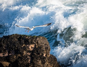 Whenever a wave started to crash onto the rock the Seagull was standing on, he would jump up and fly until the water had broken over the top then he would land back on top again.