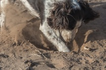 Baily loves to dig